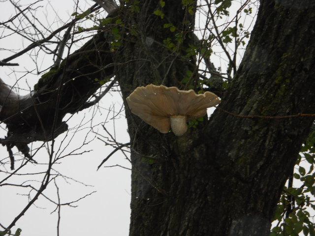 Mushroom Fungus Siberian Elm Ozark Arkansas