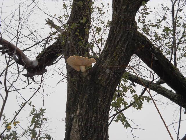 Tree Fungus Mushroom Siberian Elm Arkansas Ozarks