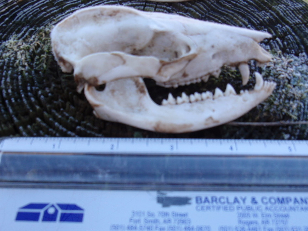 Is this the Skull of an Opossum? | Notes from the Hollow