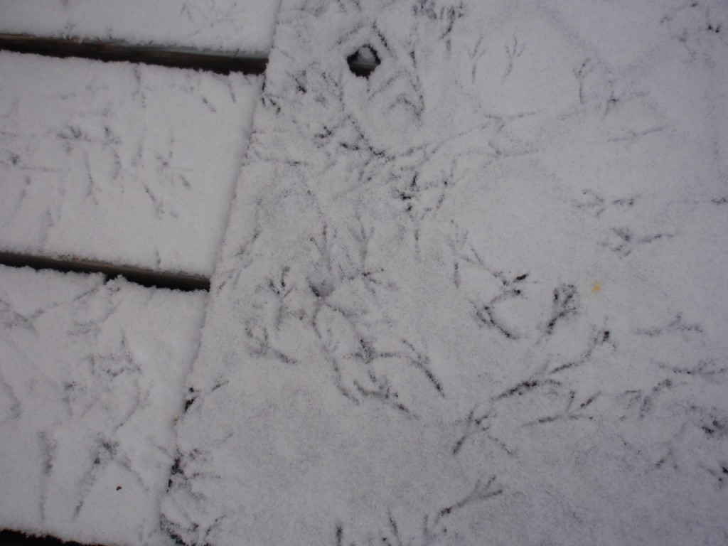 Snow Bird Tracks Ozark Hills Arkansas Eureka Springs