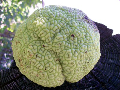 Hedge Apple Osage Orange