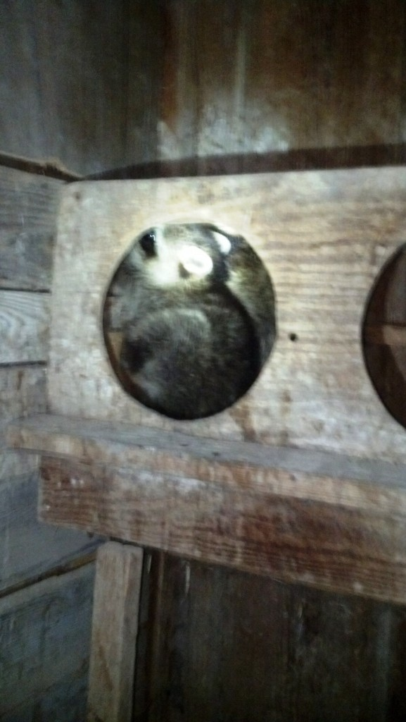 raccoon in hen nest August 27 2013
